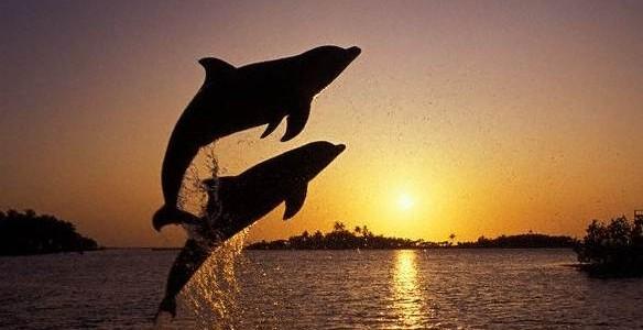 Leaping bottlenosed dolphins, Roatan, Honduras, 2007